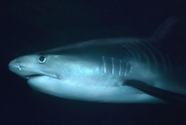 Whitsundays-saarilla Isolla valliriutalla on viranomaisten mukaan tällä hetkellä poikkeuksellisen paljon suuri haikaloja.