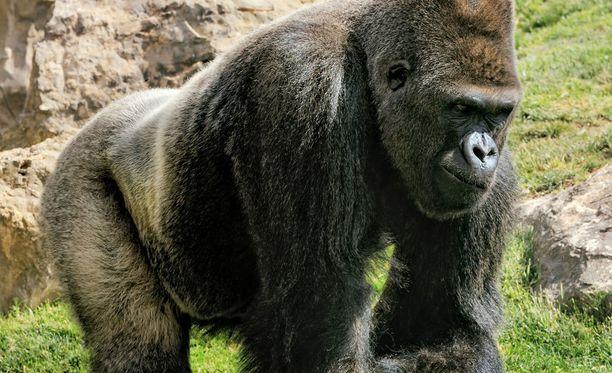 Pikkupoika joutui hengenvaraan pudottuaan gorillan aitaukseen. Kuva ei liity tapaukseen.