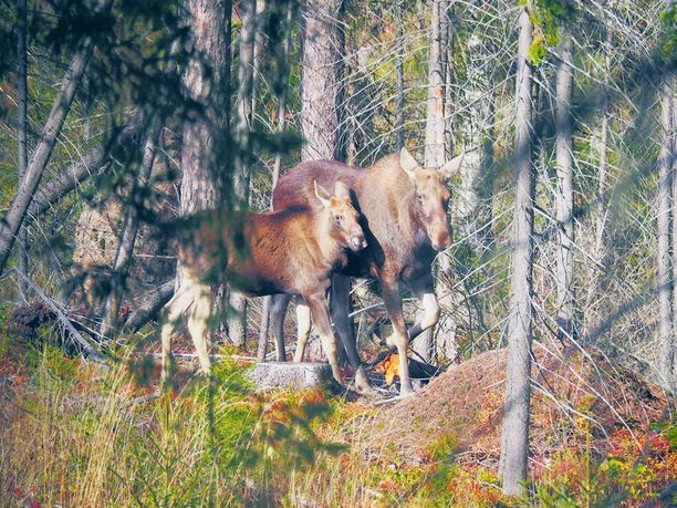 Karhukoirat olivat haukkuneen hirvilehmää ja sen vasaa ennen kuin emä hermostui ja lähti jahtaamaan Mika Majanderia. Hirvi iski sorkat miehen selkään.