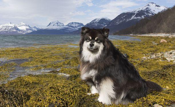 Äijä-koira on elementissään tunturien kupeessa.