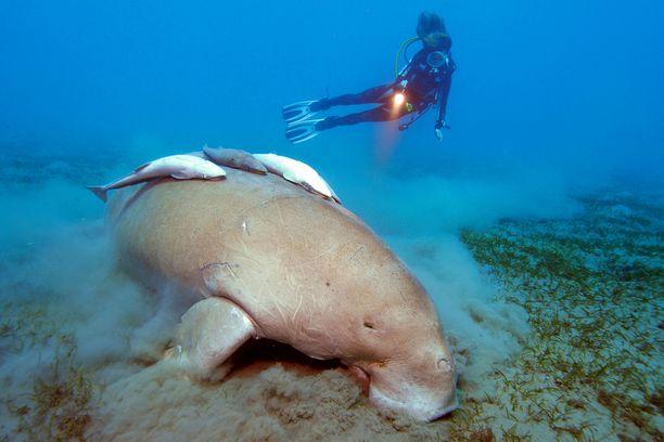Merilehmät syövät merestä muun muassa ruohoa, jonka mukana muovia kulkeutuu niiden elimistöön. Kuvituskuva.