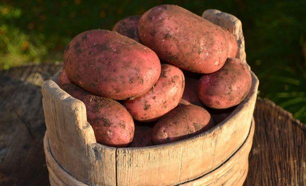 Suomalainen syö keskimäärin noin reilut 50 kiloa perunaa vuodessa. Tässä kuvassa peruna on SuperPottua.