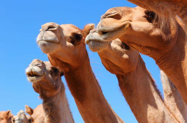 Saudi-Arabian kamelifestivaaleilla kilpaillaan eri lajeissa. Yksi alue on kauneus.