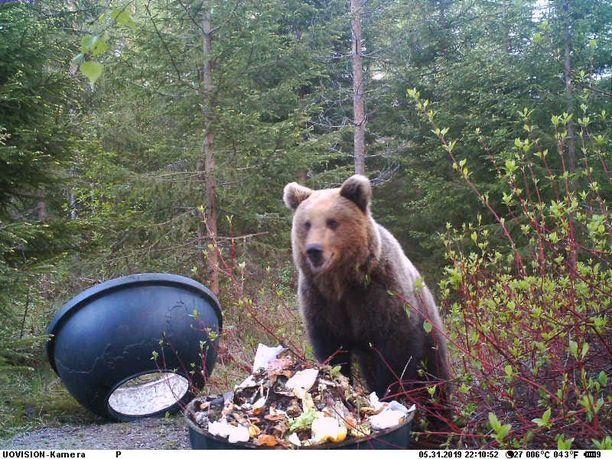 Kompostilla on vieraillut ainakin kaksi eri karhua.