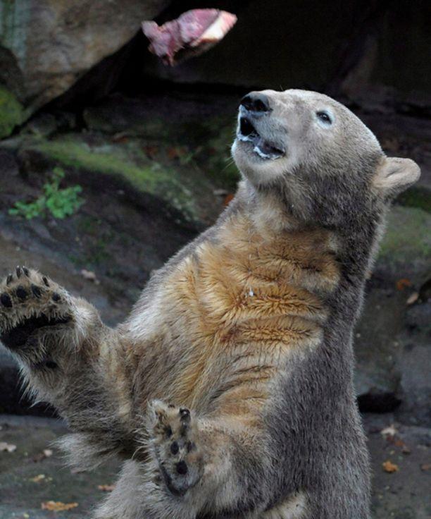 Knut täyttää 5. päivä joulukuuta 2 vuotta.
