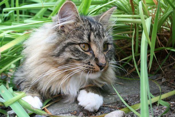 Norjalainen metsäkissa Chili toi turkissaan kotiin kolme punkkia - tai niin omistaja Rita luuli. Tarkemmin katsottuna paljastui, että kissan ihoon pureutuneesta kolmesta punkista kahdella naaraalla oli alapuolellaan kiinni koiras eli punkit parittelivat.