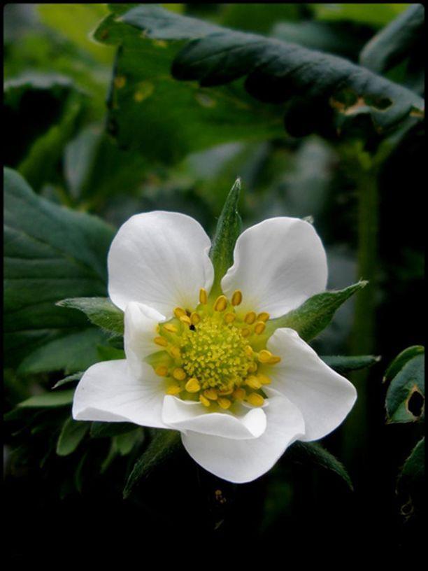 Mansikan kukka
