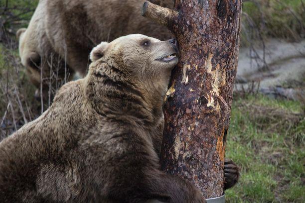Karhujen talviunet jäivät kahden kuukauden pituisiksi.