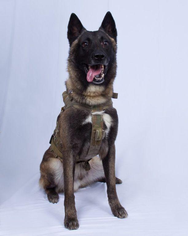 Koira lähetettiin al-Baghdadin perään tunneliin, koska pelättiin, että hänellä on päällään pommiliivi, niin kuin hetkeä myöhemmin osoittautui todeksi.