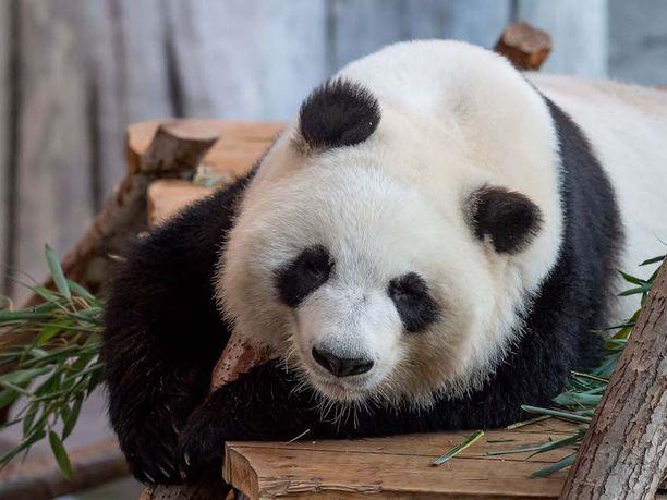 Ähtärin eläinpuistossa on kaksi Kiinasta vuokrattua pandaa, Lumi ja Pyry.