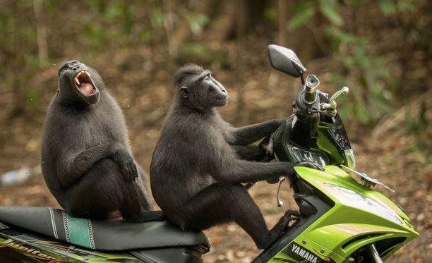 Indonesialaiset apinat ja vauhdin hurmaa.
