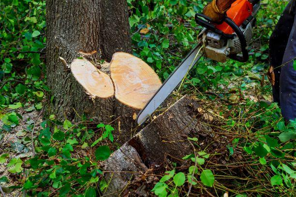 Puiden kaataminen johti pitkään oikeusriitaan. Kuvituskuva.