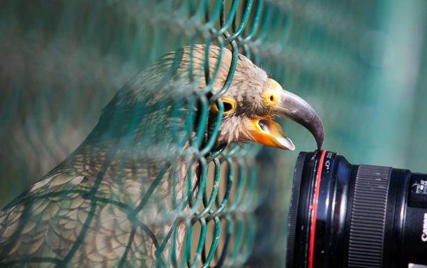 Kea nimeltä Blacky tunki päänsä aidasta läpi ja tarttui valokuvaajan kameraan eläintarhassa Frankfurtissa.