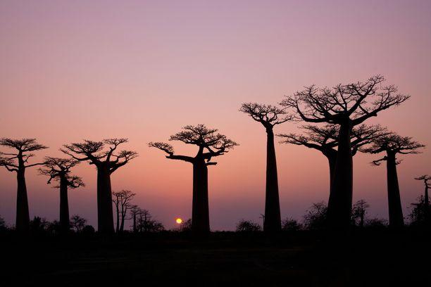 Madagaskarin omaleimainen luonto on täynnä ihmeitä.