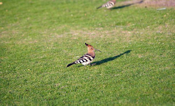 Eläinsuojeluvalvoja Heidi Leyser-Kopran mukaan lintuja nähdään Suomessa vuosittain.