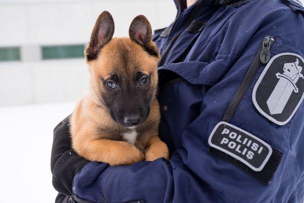 Belgianpaimenkoira Hiski on Itä-Suomen poliisilaitoksen tuorein tulokas.