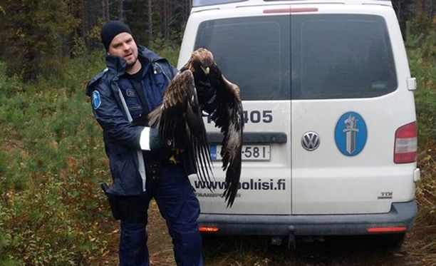 Ammuttu maakotka löytyi Pudasjärven Koivuojanlatvasuolta.
