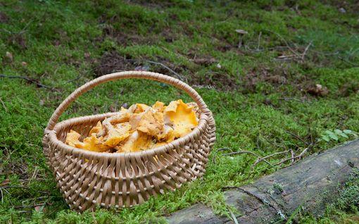 """Sateet voivat tuoda tullessaan plusmerkkisen sienisadon - """"Kannattaa kaivaa kumisaappaat naftaliinista"""""""