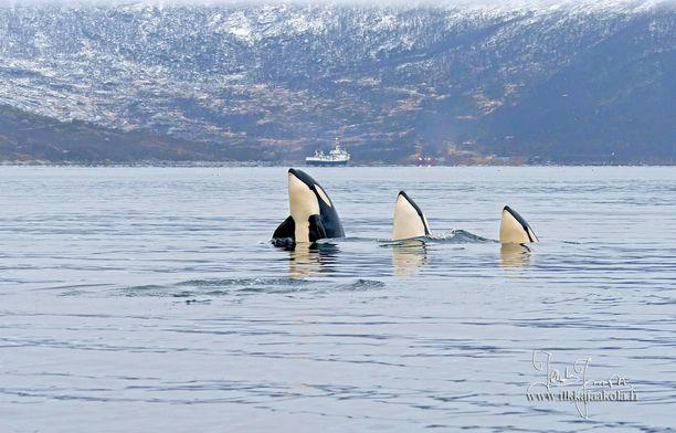 Miekkavalas (Orcinus orca) on suurin delfiinien heimoon kuuluvista valaslajeista.