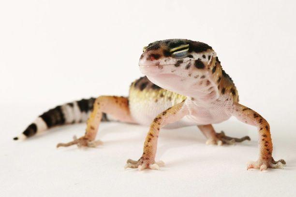 Leopardigecko on yksi suosituimmista lemmikkimatelijoista.