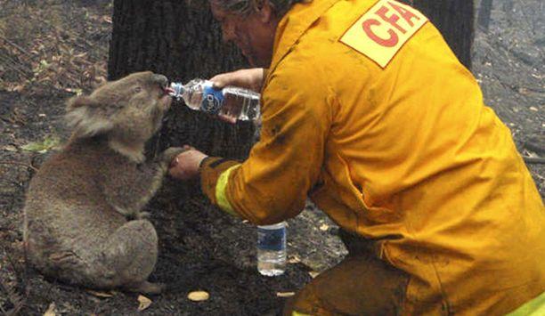 Australian metsäpalojen symboliksi nousi kuva, jossa palomies David Tree jakoi vesiannoksensa Samiksi ristityn koalan kanssa.