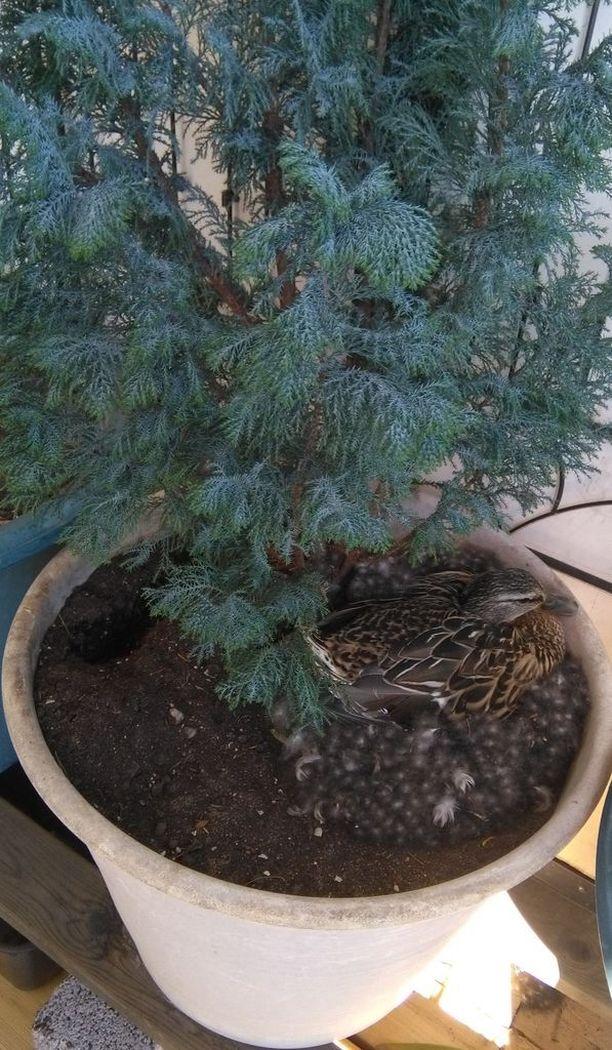Sama sinisorsa on hautonut joka vuosi muniaan turkulaisen Sini Kulmalan parvekkeella.