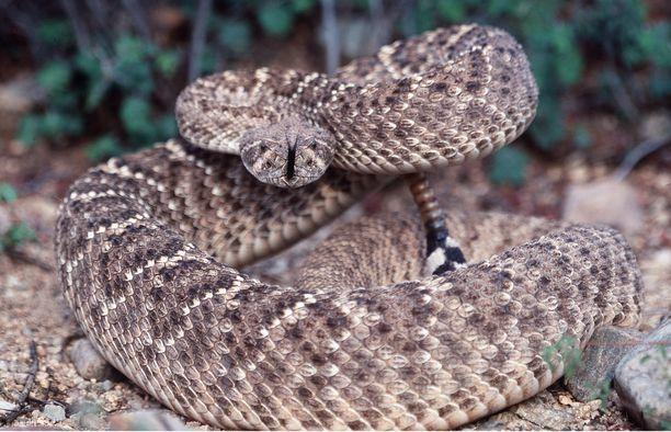 Teksasinkalkkarokäärmeen voi kohdata USA:ssa tai Meksikossa.