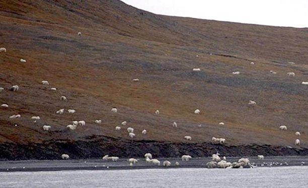 Rinteellä liikkuneet valkoiset eläimet olivatkin suuri lauma jääkarhuja.