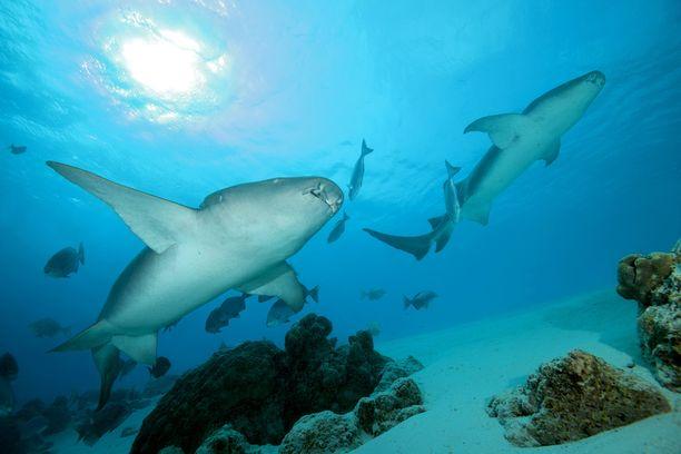 Ruosteviiksihai on rauhallinen haillaji, mutta saattaa purra tuntiessaan itsensä uhatuksi.