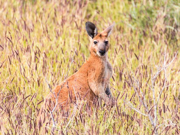 Australian valtion tilastojen mukaan kengurunlihan syönti yleistyy myös ulkomailla, sillä lihan vienti kasvaa kymmenellä prosentilla vuosittain. Kuvassa punajättikenguru, joka on kengurulaijeista suurin.