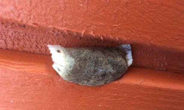 Trichiosoma lucorum -lajin kehto vaiko sittenkin huulesta karannut pussinuuska?