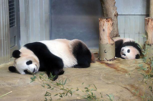 Xiang Xiang (oik.) makoili emonsa Shin Shinin takana. Valokuvaajat pääsivät ihailemaan eläimiä ennakkoon maanantaina.