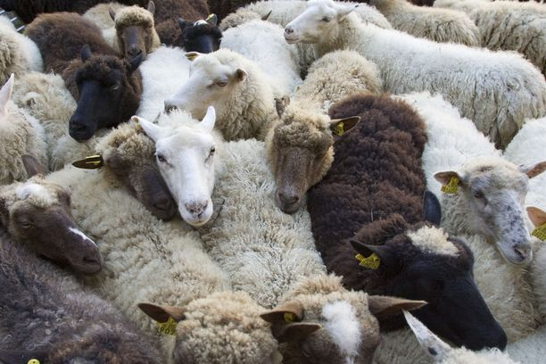Koirat tappoivat 11 lammasta Kirkkonummella. Kuvituskuva.
