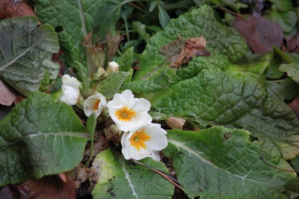 Kevätesikot ovat täydessä kukassa Salossa.