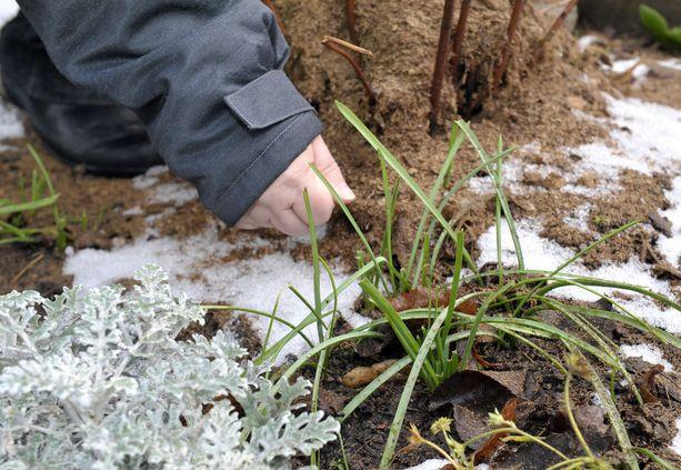 Arkistokuva lämpimästä alkutalvesta parin vuoden takaa, jolloin kasvit heräilivät liian aikaisin kasvukauteen.