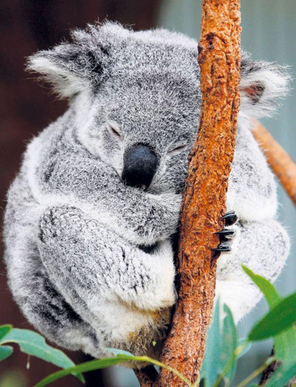 """VIIS SIITÄ Australiassa alkava Aasian ja Tyynenmeren maiden huippukokous ei ole liiemmin hetkauttanut paikallista koalakarhupopulaatiota. Tämänkin koalan tervehenkisenä mottona näyttää olevan: """"Talo elää tavallaan, vieras tulee ajallaan."""""""