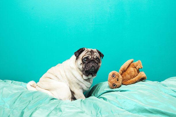 Maukka nukkuu usein lelu suussa. Se helpottaa hengittämistä.