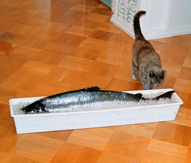 Vuonna 2001 Rontti-kissa tuli nuuhkimaan presidentille lahjoitettua 10,4 kilon lohta, mutta totesi sen liian ylivoimaiseksi ja juoksi kiireesti karkuun.