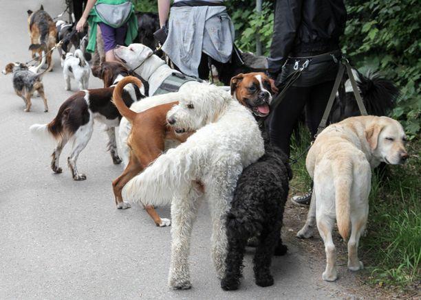 Koirien taakanvedon EM-kisoihin on ilmoittautunut yhteensä 41 koiraa. Kuvituskuva.