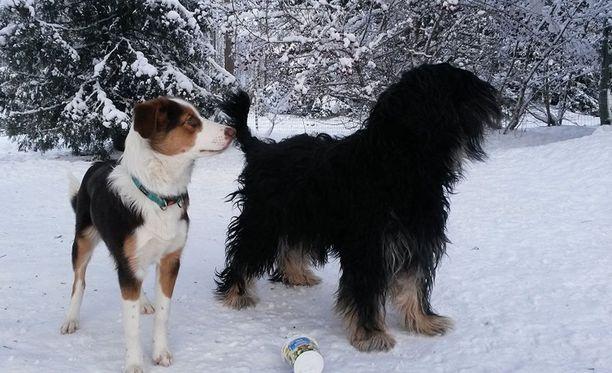 Kuvassa oikealla oleva musta koira Banja esti emäntäänsä jäämästä putoavan lumikinoksen alle.