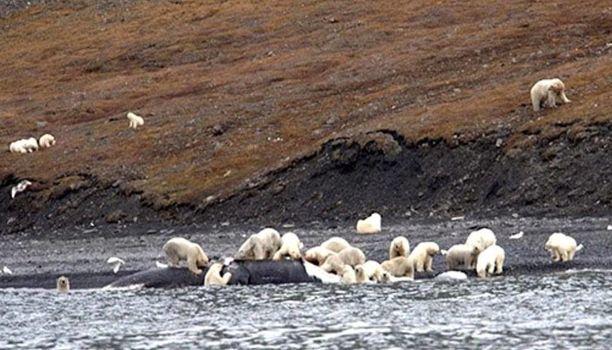 Lauma jääkarhuja söi rannalle ajatunutta grönlanninvalaan ruhoa.
