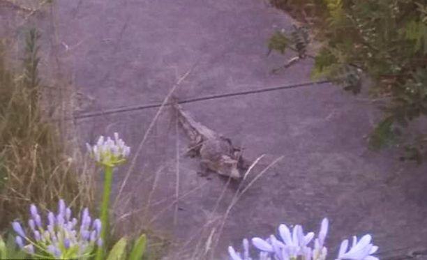 Krokotiili oli kooltaan vajaa 1,5 metriä. Se saatiin lopulta kiinni yhden talon etupihalta.