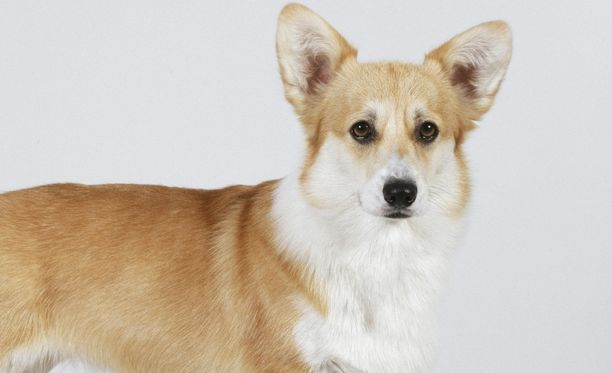 Jojo-corgi aloitti vesiterapian jouduttuaan muiden koirien hyökkäyksen kohteeksi ja loukkaannuttuaan pahasti.