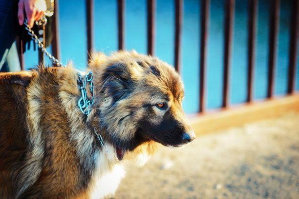 Kaukaasianpaimenkoiraa pidetään vaativana koirarotuna. Vaativuutta lisää suuri koko. Kuvassa on venäläinen yksilö.