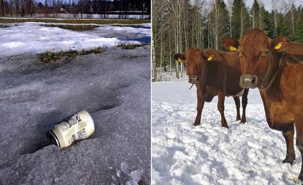 Oluttölkki voi rehun sekaan silpoutuessaan johtaa lehmän kuolemaan.