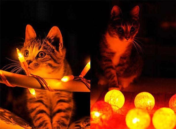 Meillä joulu alkaa näkyä siinä vaiheessa, kun kissat saavat lisävirikettä jouluvaloista. Vaikka pentuajoista on jo pari vuotta, valot näyttävät kiehtovan edelleen.