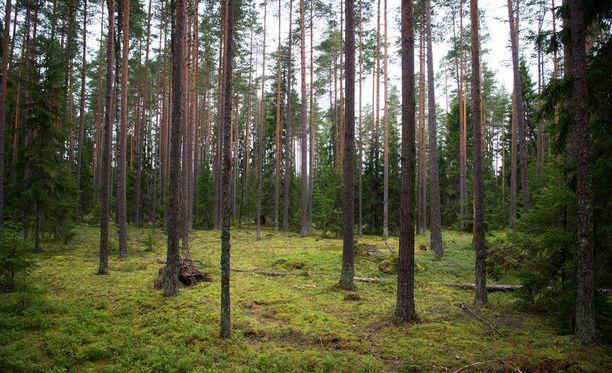 Versosurma vaivaa Itä-Suomen männiköitä jo kolmantena peräkkäisenä kasvukautena. Sateisten kesien jälkeen kasvitautia on havaittu myös muualla kotimaassa. Kuvituskuva.