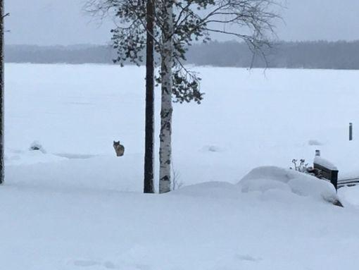 Sotkamon riistanhoitoyhdistyksen toiminnanohjaaja Jari Korhonen pitää poikkeuksellisena, että talon pihapiirissä liikkunut susi ei arkaillut talon emännän huutoja.