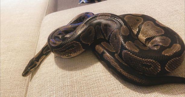 Chapo-käärme on karkuteillä.