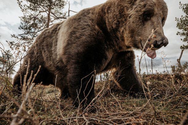 Kamera-ansa mahdollisti lähikuvat karhusta.
